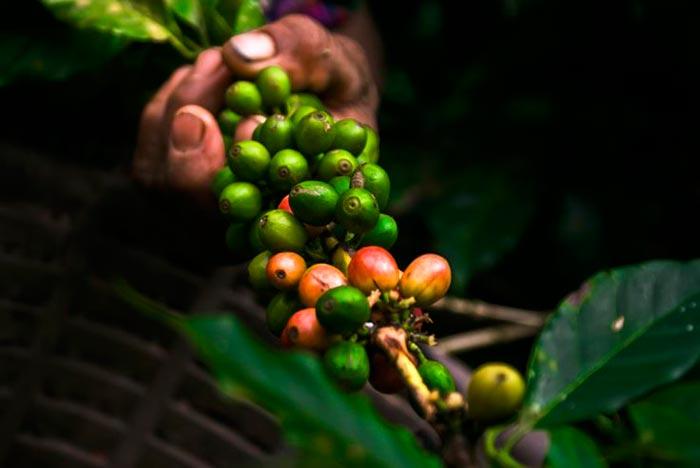 ветка кофе марагоджип